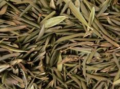 Die getrockneten Blätter von Olea europaea L.