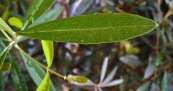 Das Blatt eines Olivenbaumes